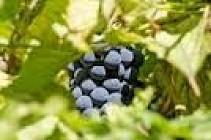 Sentier viticole à Taluyers