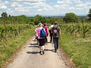 Randonnée A la découverte du vignoble de Molsheim